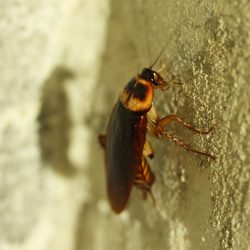 cucaracha-roja