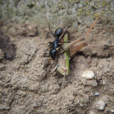 hormiga-negra