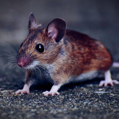 ratosn-de-casa